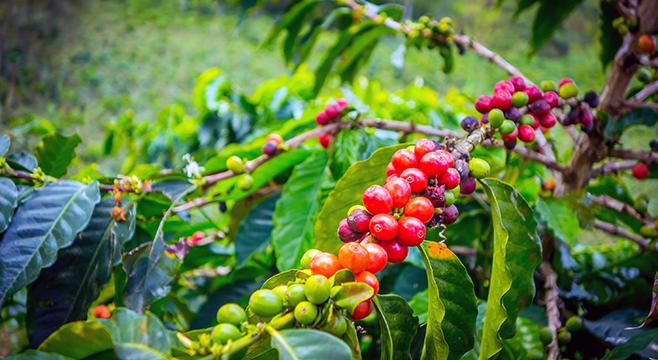 Cómo se cultiva el café La Bastilla